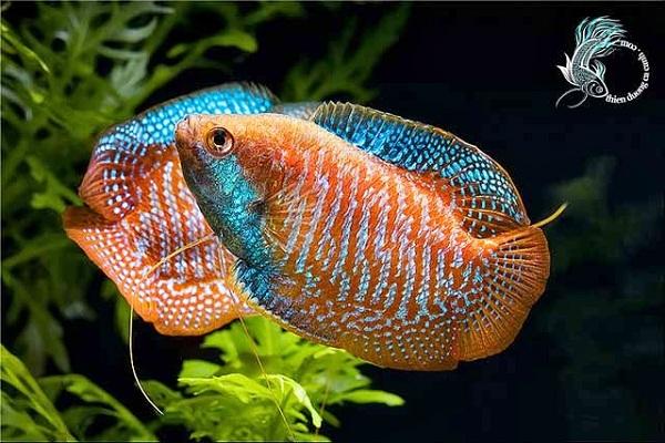 Bể cá phong thủy - Cá Gấm