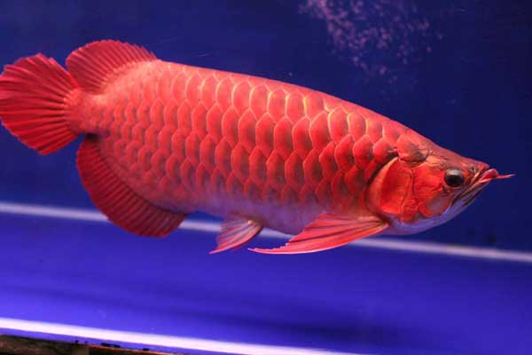 Bể cá phong thủy - Cá Rồng Đỏ