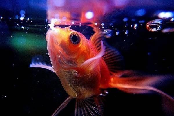 Bể cá phong thủy - Cá vàng