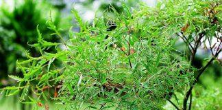 Đinh lăng – cây thuốc quý đi đâu cũng thấy