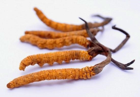 Đông trùng hạ thảo có nhiều công dụng hữu hiệu