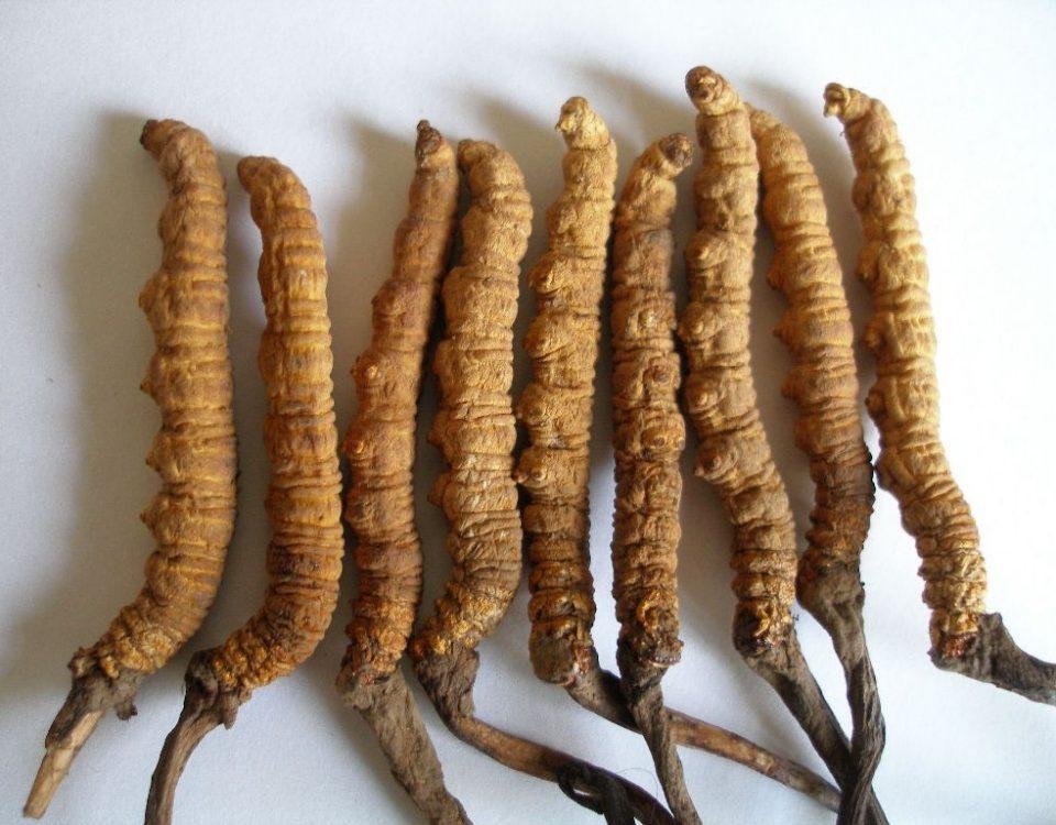 Sử dụng đông trùng hạ thảo nguyên chất