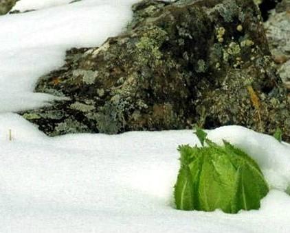 Thông tin về tuyết liên hoa Tây Tạng